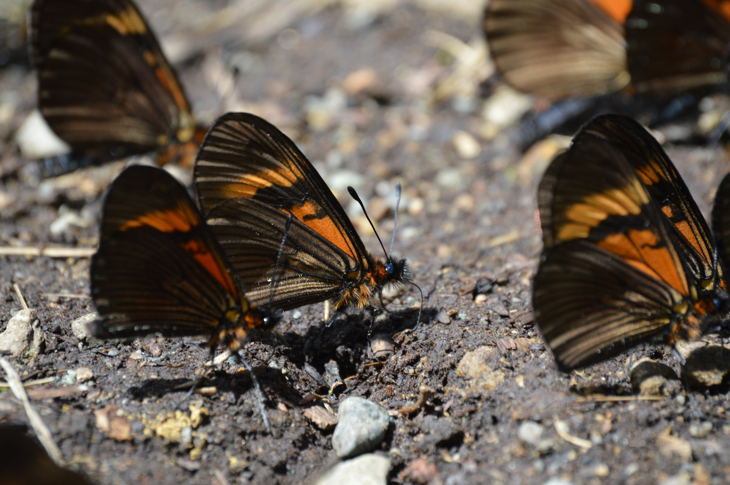 Butterflies on the path. Careful not to step on them!