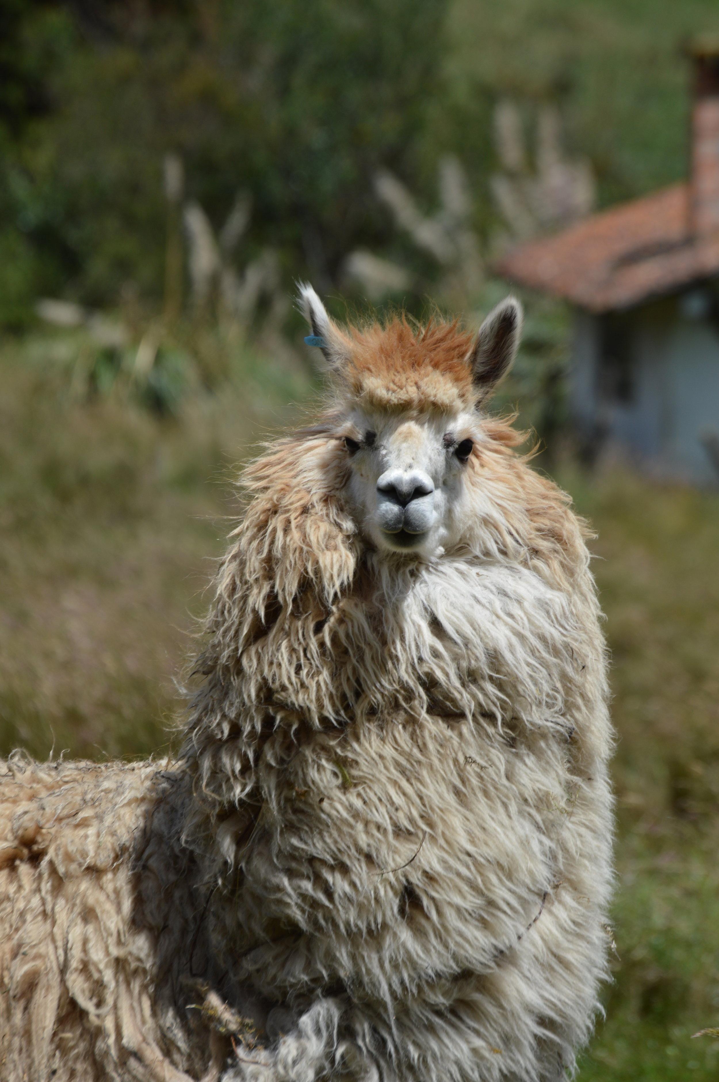The fluffiest llama!