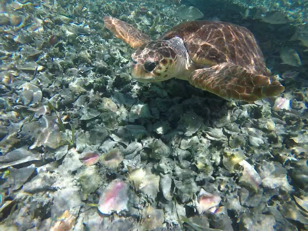 Turtle among the Conch Graveyard