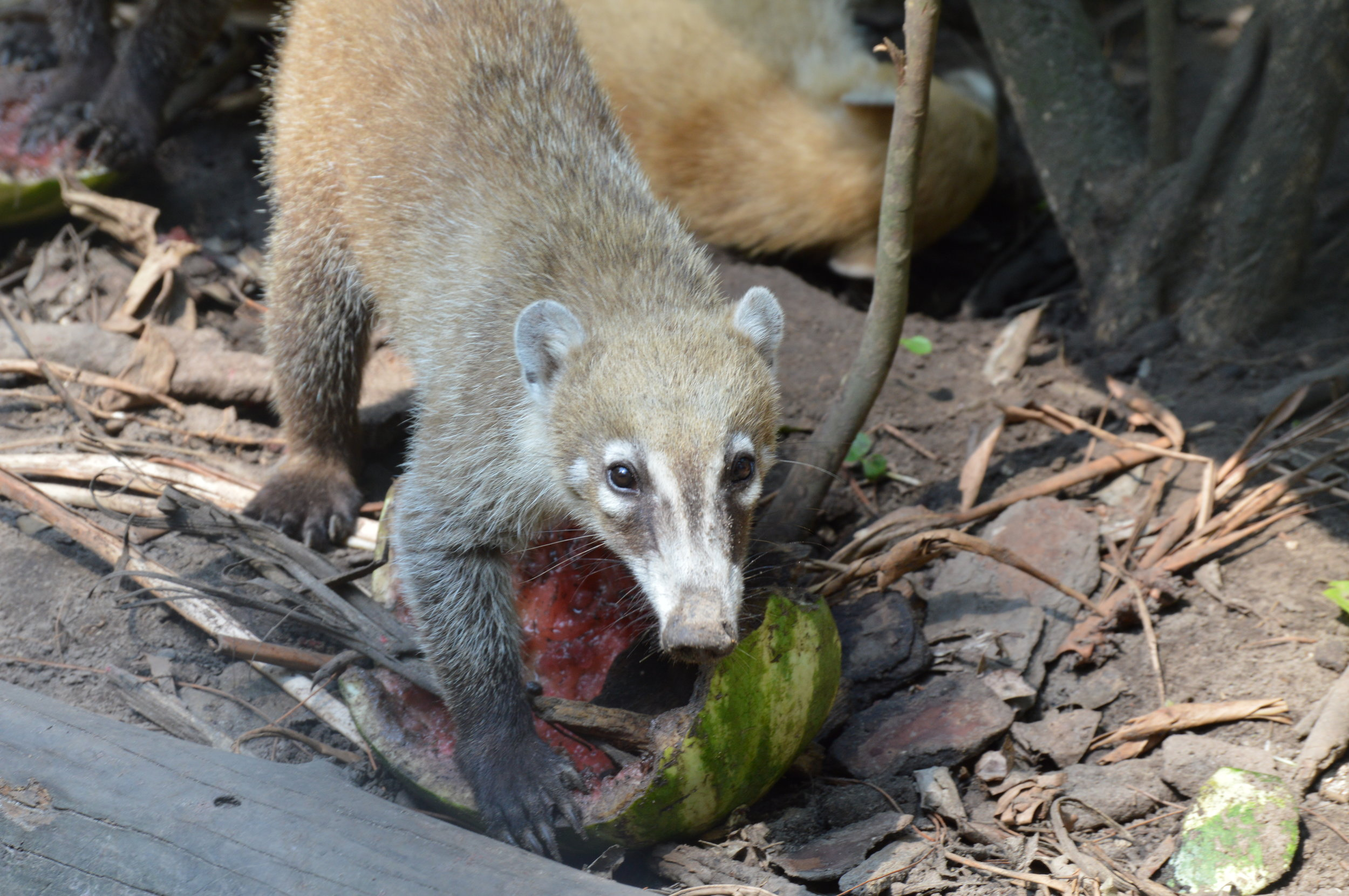 Coati - a member of the raccoon family