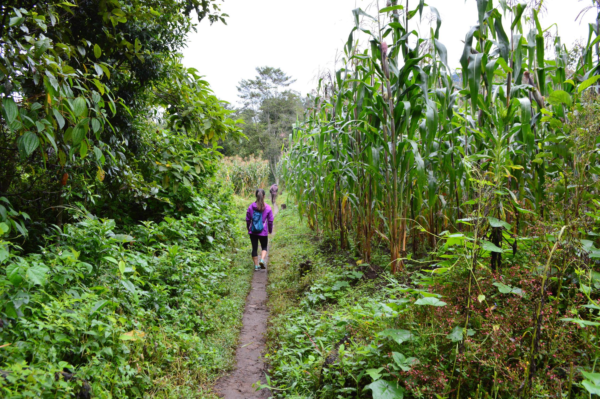Walking past many corn fields