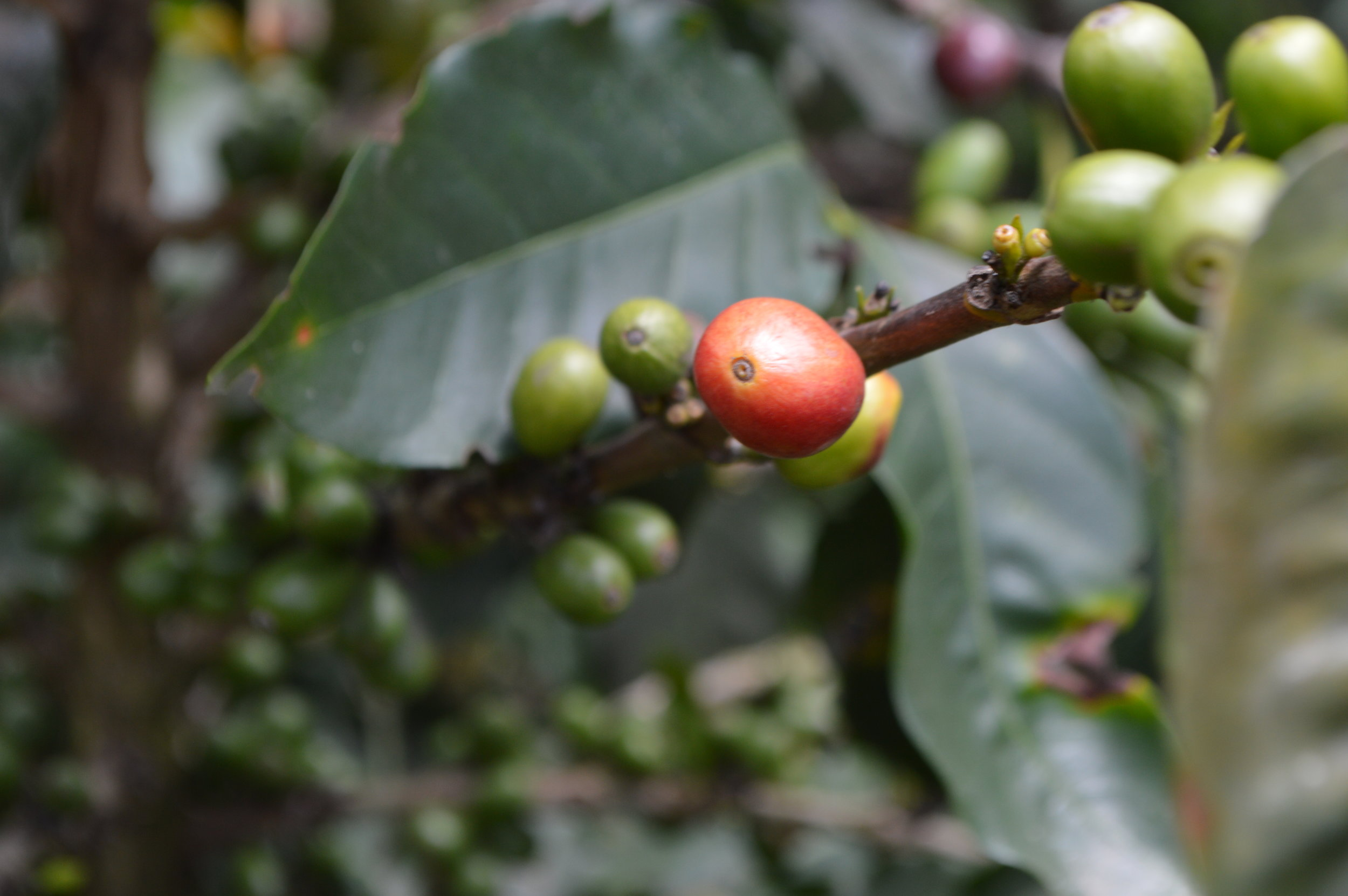Coffee fruit - beans are within!
