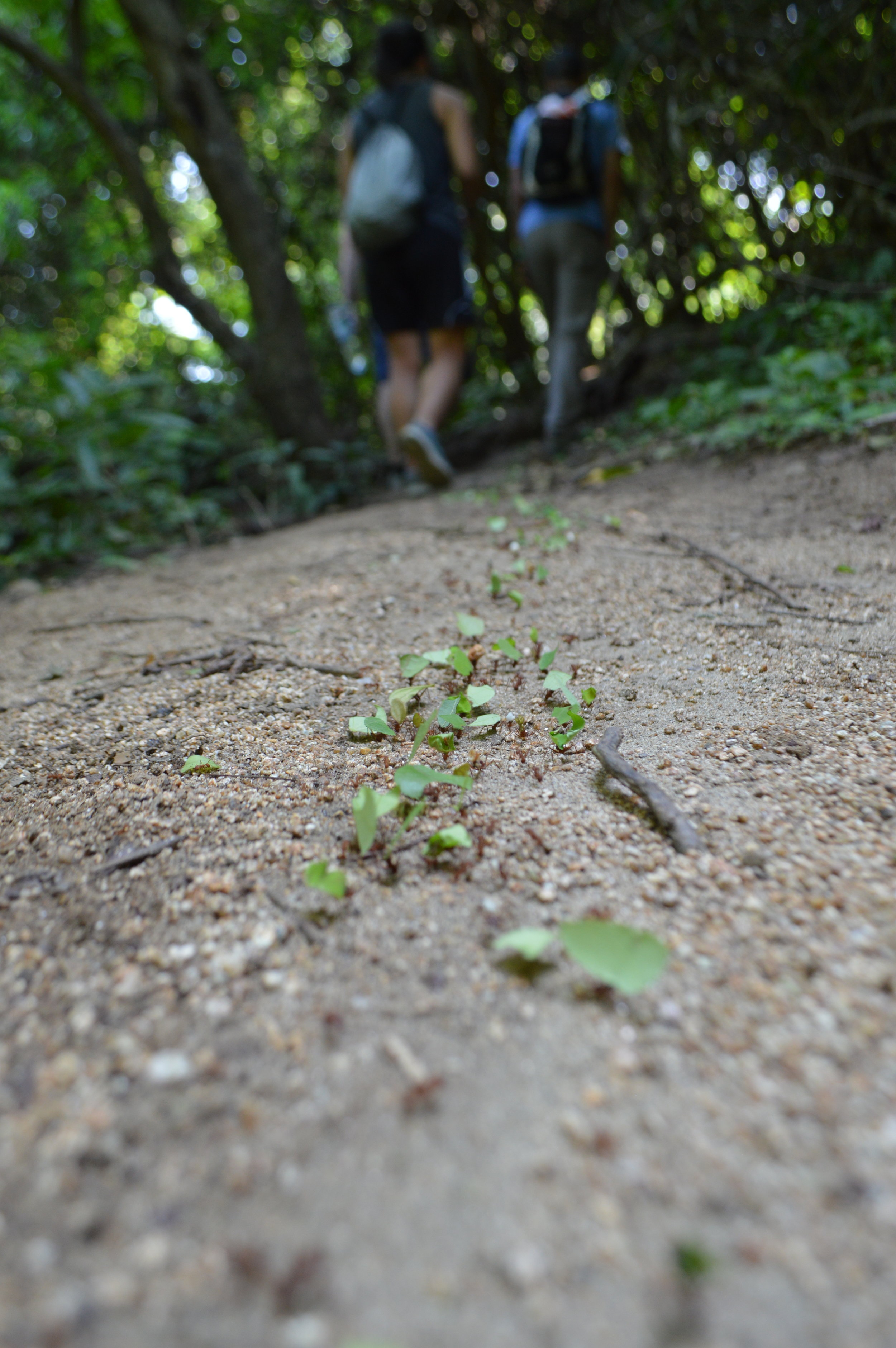 Follow the leaf cutter ants!