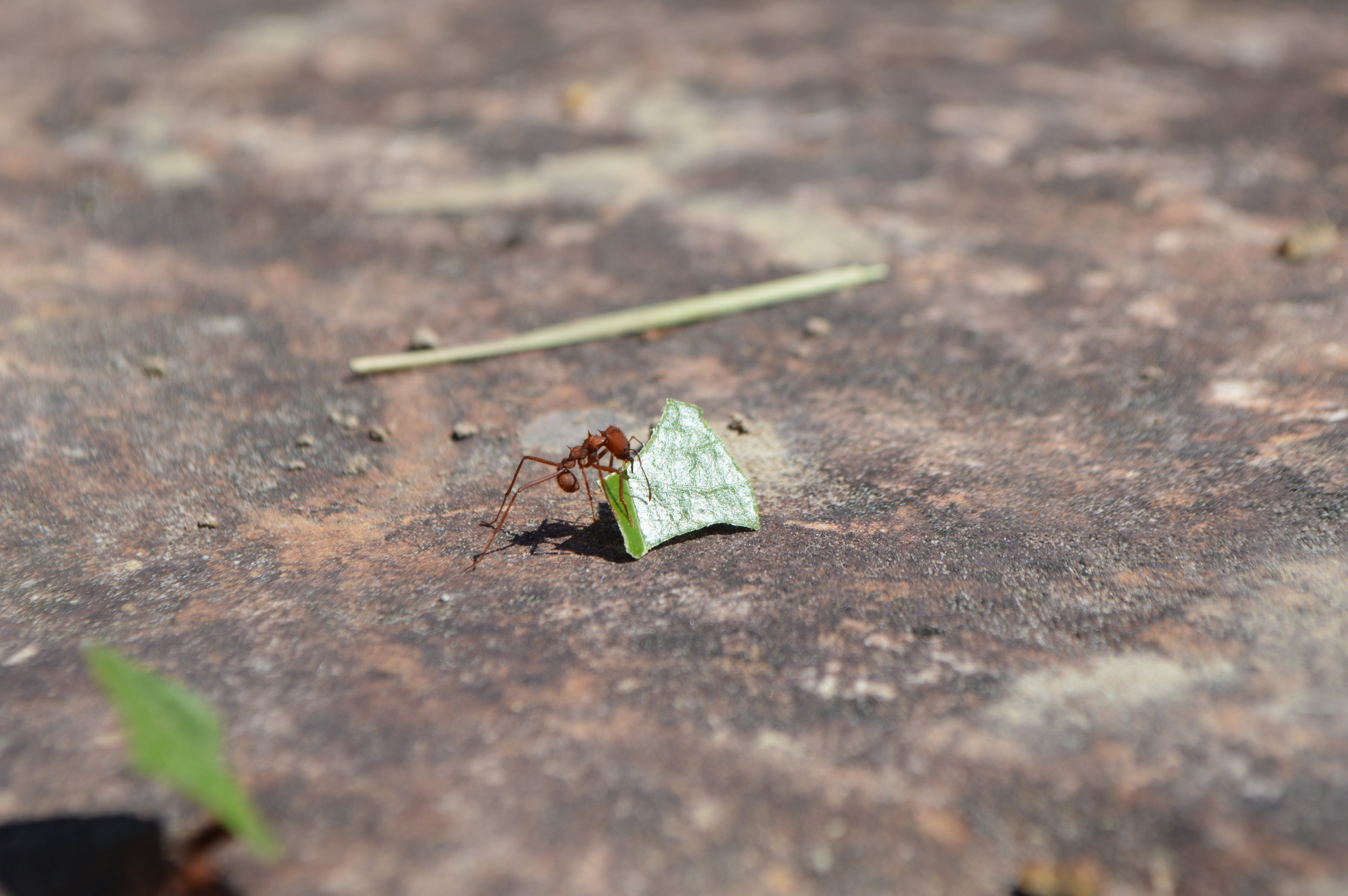 Leaf-cutter ants hard at work