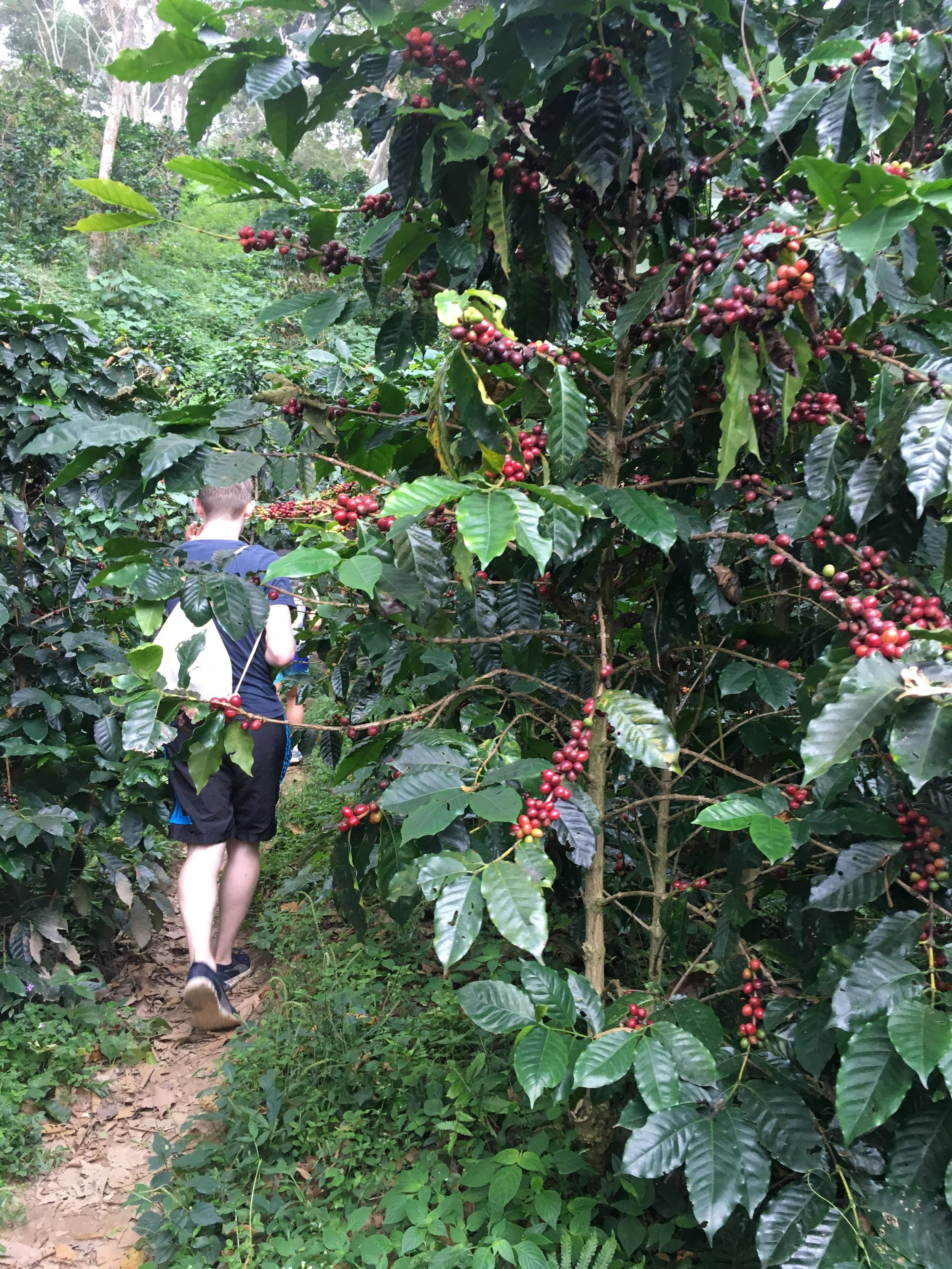 Walking through thick brushes of coffee plants