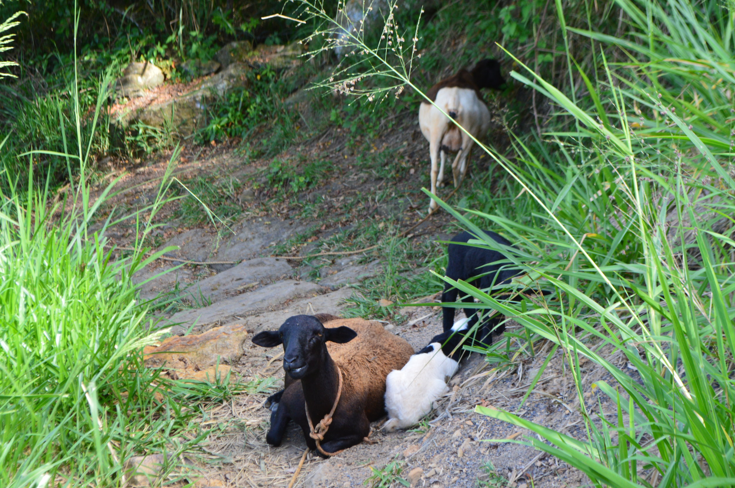 We circumvented the goats that were casually sitting in the middle of the path