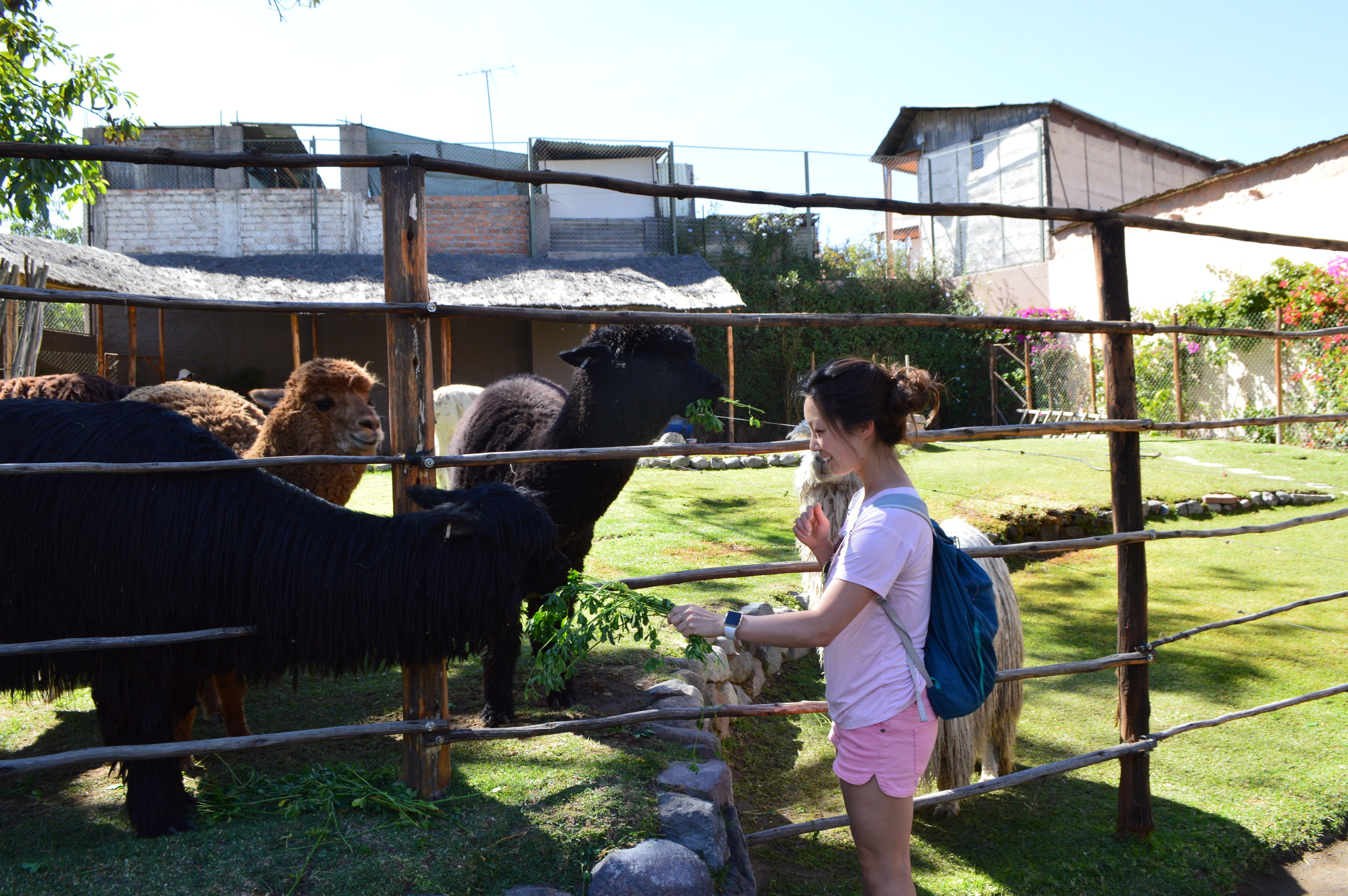 At Mundo Alpaca feeding the llamas and alpacas