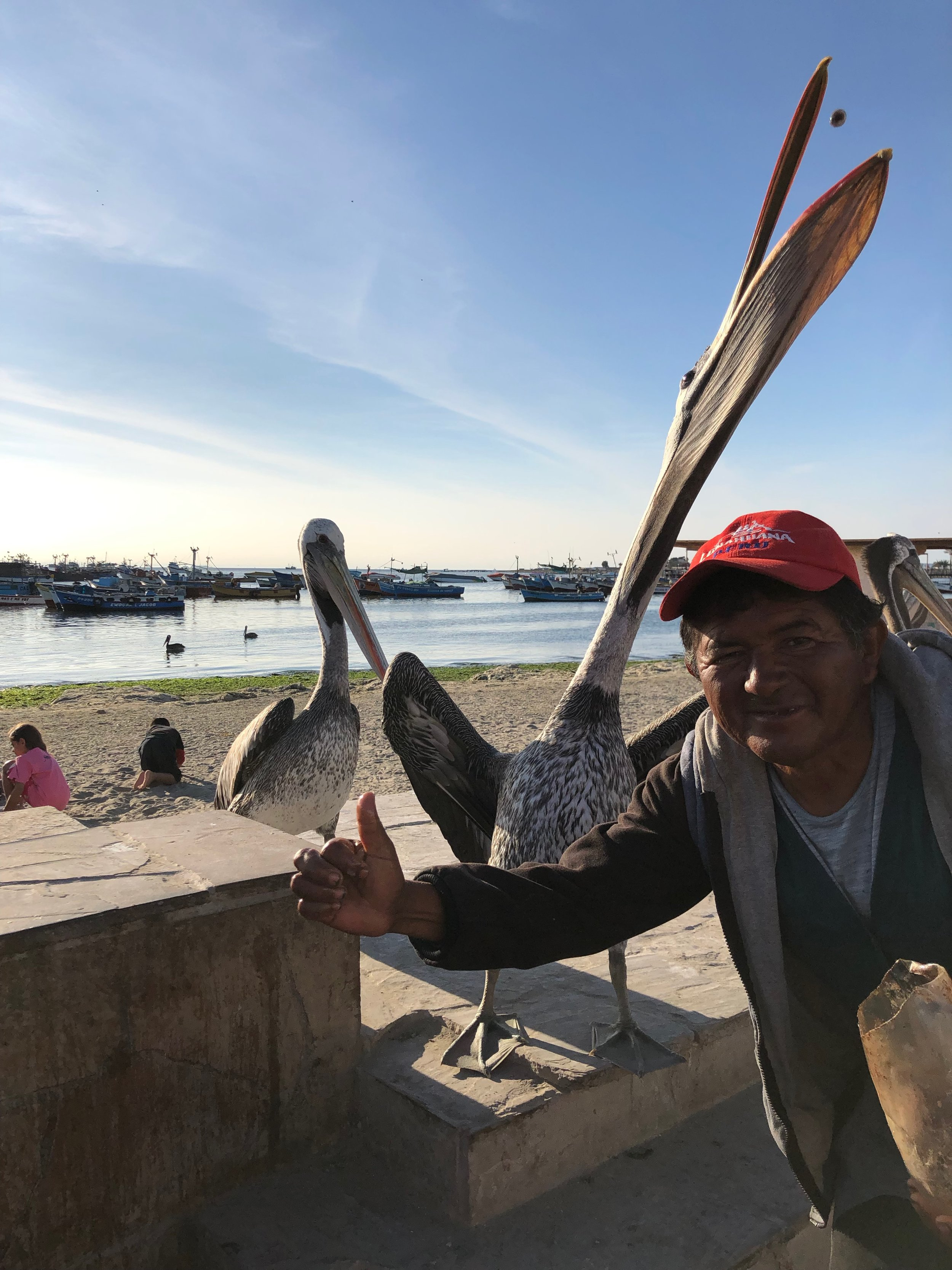 Man feeding pelicans to entertain tourists and solicit money for taking photos
