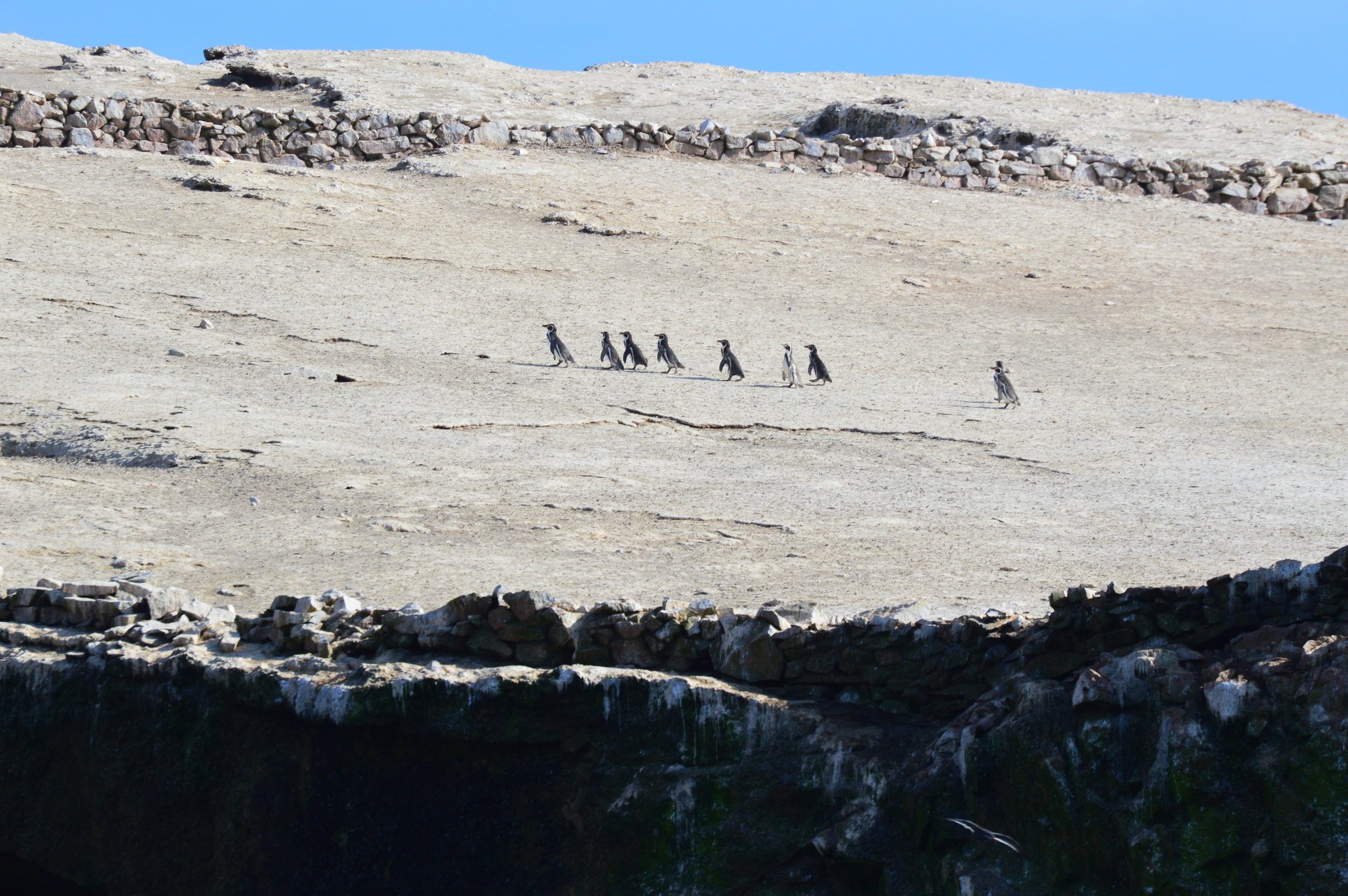Humboldt penguins—the only penguin native to Peru