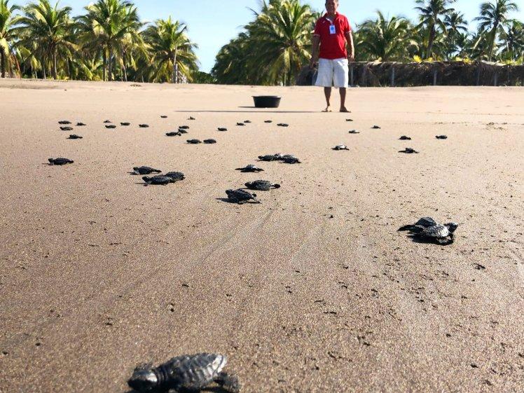 Baby turtles scrambling towards the water